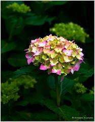 DSCF0123 (DrOpMaN®) Tags: fujifilm fujinon xe2 xc1650mmf3556ois m43turkiye captureoneprofujifilm korhankumral flowersplants darktable