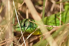 Western Green Lizard (Lacerta bilineata) (Sky and Yak) Tags: western green lizard lacerta bilineata westerngreenlizard lacertabilineata dorset uklizards uk coast bournemouth reptile reptilesandamphibians nature naturalworld emerald bask basking