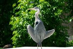 Ardea cinerea - Graureiher, Fischreiher (PictureBotanica) Tags: tiere vögel graureiher fischreiher natur wasservögel zoo wilhelma stuttgart