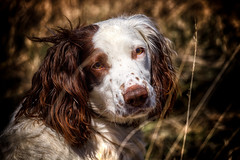 Rups (Missy Jussy) Tags: rupert mansbestfriend malespringerspaniel springerspaniel spaniel englishspringer grass dof ef70200mmf4lusm 70200mm ef70200mm canon70200mm canon5dmarkll canoneos5dmarkii canon dog dogportrait outdoor outside naturallight pet petportrait animalportrait animal sunlight