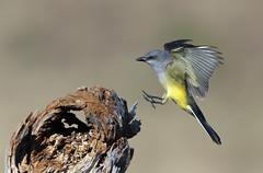 Western Kingbird (Tyrannus verticalis) (Ron Wolf) Tags: nationalpark pinnaclesnationalpark tyrannidae tyrannusverticalis westernkingbird bird flight flycatcher nature wildlife california explore