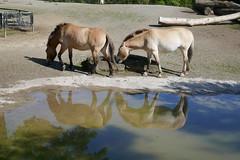 Przewalski paarden (~~Nelly~~) Tags: mechelen planckendael przewalskipaard