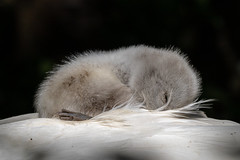 Shhhh......💤 💤 (Linda Martin Photography) Tags: abbotsbury dorset wildlife nature bird birds swannery muteswan cygnusolor cygnet uk animal naturethroughthelens coth alittlebeauty coth5 ngc specanimal npc fabuleuse