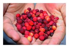 Himalayan Wild Berry Kafal.. (V Dhyani) Tags: myricaesculenta kafal kaphal bayberries berries paurigrahwal garhwal lansdowne uttrakhand himalayan himalayanwildberry