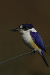 Forest Kingfisher (Janis May) Tags: forestkingfisher foggdam bird kingfisher northernterritory