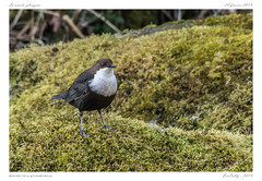 Cincle plongeur | White-throated Dipper (BerColly) Tags: france auvergne puydedôme oiseau bird cincle dipper riviere river sioule portrait bercolly google flickr