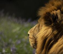 Peaceful (Through-my-eyes.) Tags: lion feline wild animal wildanimal dartmoorzoo bluebells mane male jasiri enclosed carnivor