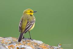 Yellow Wagtail (Simon Stobart) Tags: yellow wagtail motacilla flava perched north east england uk