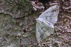 Vöödiline atlassvaksik; Lomographa temerata; Clouded Silver (urmas ojango) Tags: lepidoptera liblikalised insecta putukad insects moth vaksiklased geometridae nationalmothweek vöödilineatlassvaksik lomographatemerata cloudedsilver