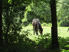 IMG_0581 grazing (belight7) Tags: pony free exmoor forest nature uk england burnham beeches