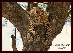 LEOPARD (Panthera pardus) ...MASAI MARA.....SEPT 2018. (M Z Malik) Tags: africa nikon kenya wildlife safari leopard masaimara keekoroklodge flickrbigcats exoticafricancats d800e exoticafricanwildlife 400mmf28gedvr pantheraparduc ngc npc