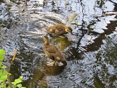 IMG_0603 baby mandarins (belight7) Tags: uk england nature pond ducks burnham beeches