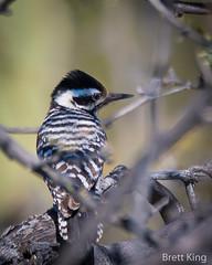 ladderback (dbking2162) Tags: woodpecker ladderback birds bird beautiful beauty nature nationalgeographic wildlife explore eyes animal arizona trees