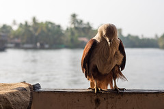 What Bird is this? (Geraint Rowland Photography) Tags: nature nationalgeographic india backwatersofkerala indiannature photography bird wanderlust getty water river backwaters visitindia natureofindia