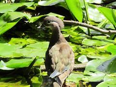 IMG_0623 mama (belight7) Tags: mandarin duck nature uk burnham beeches england summer forest pond
