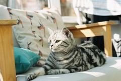15. Dunphy the Cat (joe.mckie) Tags: pentaxmesuper 35mm kodakgold200 35mmfilmphotography