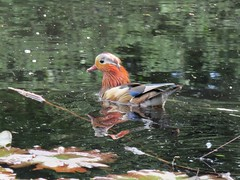 IMG_0650 (belight7) Tags: mandarin male duck nature uk burnham beeches england summer forest pond