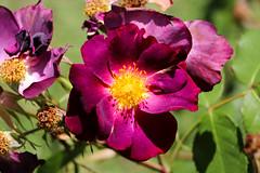 Maig_0384 (Joanbrebo) Tags: park parque parc parccervantes garden jardín jardí flors flores flowers fiori fleur blumen blossom rose rosa canoneos80d eosd efs18135mmf3556is autofocus