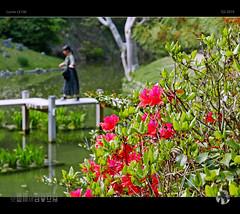 Balance (tomraven) Tags: balance composition bokeh flowers spring japan tomraveninjapan aravenimage ritsuringardens gardens japanese tomraven red green bridge q22019 lumix lx100