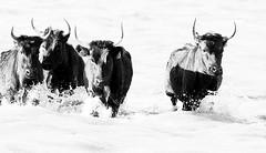 Black bulls - Camargue - South of France (lotusblancphotography) Tags: france camargue bulls monochrome blackwhite water eau animal