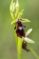 Fly Orchid (Gareth Christian) Tags: flyorchid ophrysinsectifera orchid plants orpington england unitedkingdom