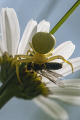 Crab Spider (Gareth Christian) Tags: downebank kwt kentwildlifetrust orpington england unitedkingdom