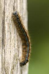 The Lackey Caterpillar (Gareth Christian) Tags: boughbeech caterpillar kwt kentwildlifetrust malacosomaneustria moth thelackey edenbridge england unitedkingdom