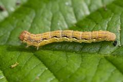 Scarce Umber Caterpillar (Gareth Christian) Tags: agriopisaurantiaria boughbeech caterpillar kwt kentwildlifetrust moth scarceumber edenbridge england unitedkingdom