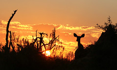 Kudu silhouette in setting sun - Moremi Game Reserve - Botswana (lotusblancphotography) Tags: africa afrique botswana moremigamereserve wildlife faune animal kudu koudou silhouette sunset coucherdesoleil ski ciel clouds nuages