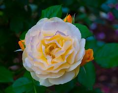 Natures prize. (Omygodtom) Tags: nature june nikkor natural flower flora flickriver scene rose tamron90mm d7100 digital colorful usgs ngs