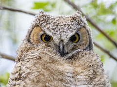 great horned owls (Pattys-photos) Tags: great horned owl marketlakewildlifemanagementarea idaho pattypickett4748gmailcom pattypickett