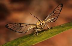 Clear-winged Tiger Moth or Wasp Moth, female (Caeneressa sp., Syntomini, Arctiinae, Erebidae) (John Horstman (itchydogimages, SINOBUG)) Tags: insect macro china yunnan itchydogimages sinobug entomology canon moth lepidoptera arctiinae arctiidae erebidae syntomini bokeh tweet fbipm topf25 tumblr fb