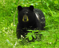 Mama Bear (annette.allor) Tags: black bear animal mammal female mother nature woods wildlife