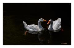 American Pekin (V Dhyani) Tags: duck ducks whiteduck pekin whitepekin americanpekin longislandduck lansdowne garhwal paurigrahwal uttrakhand
