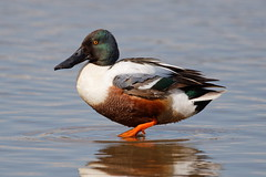 "Male Shoveler duck ""Anas clypeata"" (michael.jh) Tags: male shoveler duck anasclypeata sigma500mmf4 birds bird nature michaeljh canoneosr eosr slimbridge wwt"