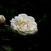 First rose in my garden