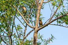 Cedar Waxwings (jwfuqua-photography) Tags: nature birds pennsylvania jwfuquaphotography cedarwaxwing peacevalleynaturecenter buckscountyparks buckscounty jerrywfuqua