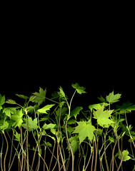 59686.01 Acer platanoides (horticultural art) Tags: horticulturalart seedlings acerplatanoides norwaymaple leaves growth