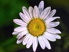 Margherita (lucamarasca1) Tags: margherita flowers insects wildlife makro macro closeup nature