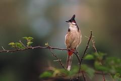 Red-whiskered Bulbul (wn_j) Tags: birds birding wildlife wildanimals wildlifephotography nature naturephotography canon canon5d4 canon100400 songbirds hongkong bulbul