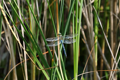 Biotope Birsfelden 04-06-2019 007 (swissnature3) Tags: nature biotope birsfelden switzerland pond plants insects dragonfly animals