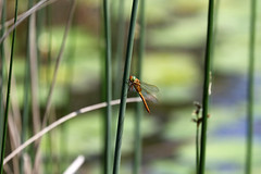 Biotope Birsfelden 04-06-2019 006 (swissnature3) Tags: nature biotope birsfelden switzerland pond plants insects dragonfly animals