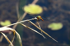 Biotope Birsfelden 04-06-2019 005 (swissnature3) Tags: nature biotope birsfelden switzerland pond plants insects dragonfly animals