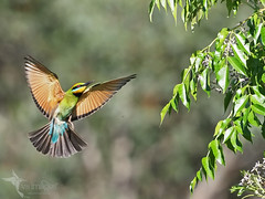 Rainbow Bee-eater (VS Images) Tags: rainbowbeeeater beeeaters beeeatersinflight meropsornatus meropidae birds bird birding bif birdsinflight feathers flight wildlife wildlifephotography animals australianbirds avian australia australianwildlife nsw nature ngc naturephotography vsimages vassmilevski olympus olympusau olympusinspired getolympus m43 omd