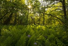 Fern Gully (Matt Champlin) Tags: jungle green lush fern ferns ferngully canon 2019 beautiful fishing spring summer skaneateles home flx life nature landscape peaceful hike hiking outdoors june