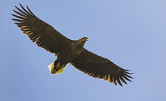White Tailed Eagle, from Dønna, Norway (Ann and Chris) Tags: whitetailedeagle norway coast eagle wildlife wild sky nature majestic wings nordland dønna island nationalgeographicwildlife