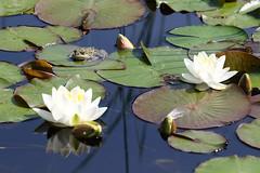 Biotope Birsfelden 04-06-2019 003 (swissnature3) Tags: nature biotope birsfelden switzerland pond plants animals frog