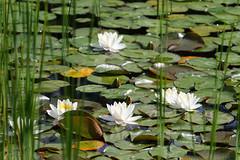 Biotope Birsfelden 04-06-2019 002 (swissnature3) Tags: nature biotope birsfelden switzerland pond plants