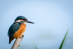 Kingy (sean4646) Tags: countrypark d500 nikon spring birds tamron150600 wildlife nature outdoors avian kingfisher southport merseyside perched