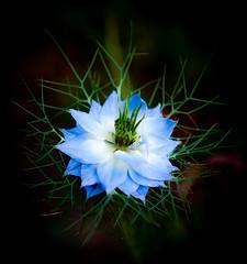 Nigella (judy dean) Tags: judydean 2019 garden 35mm nigella flower loveinamist blue